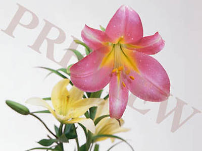 Download Still Pink and White Lillies with White Background