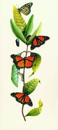 Milkweed and Butterfly [With 10 Envelopes]